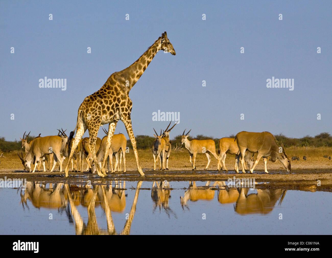 Giraffe and Eland at waterhole, Etosha National Park, Namibia. - Stock Image