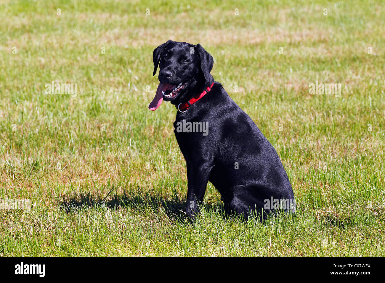 Black Labrador Retriever, young male dog, panting with tongue ... for Black Lab Dog Male  45ifm