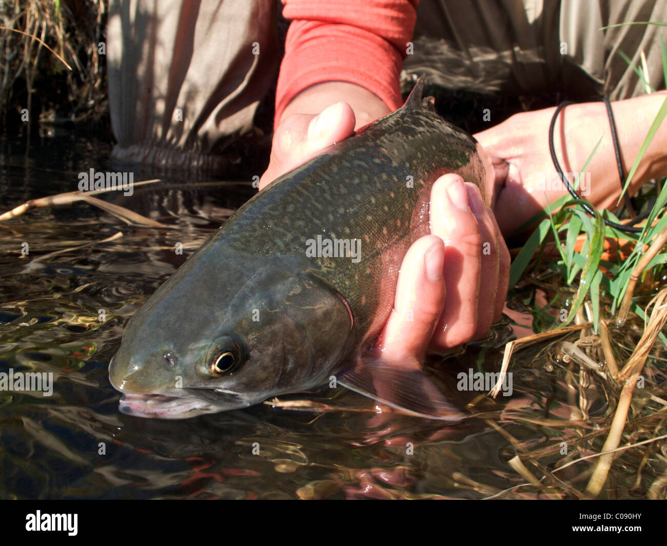 Woman holds caught Dolly Varden char on the Russian River, Kenai Peninsula, Southcentral Alaska, Autumn - Stock Image
