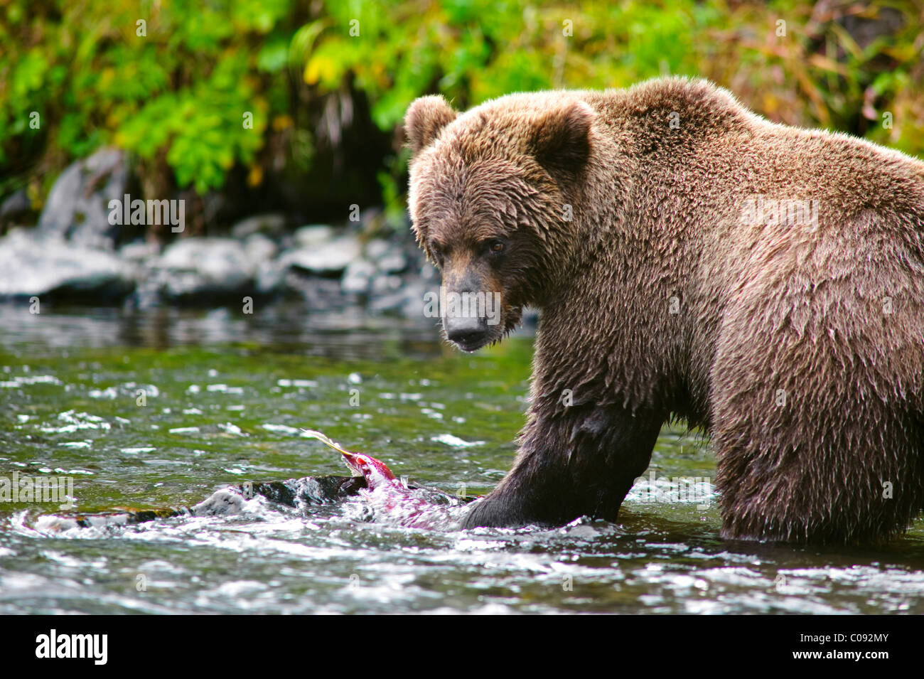 Close up view of an adult  Brown Bear fishing for salmon in the Russian River, Kenai Peninsula, Southcentral Alaska, - Stock Image