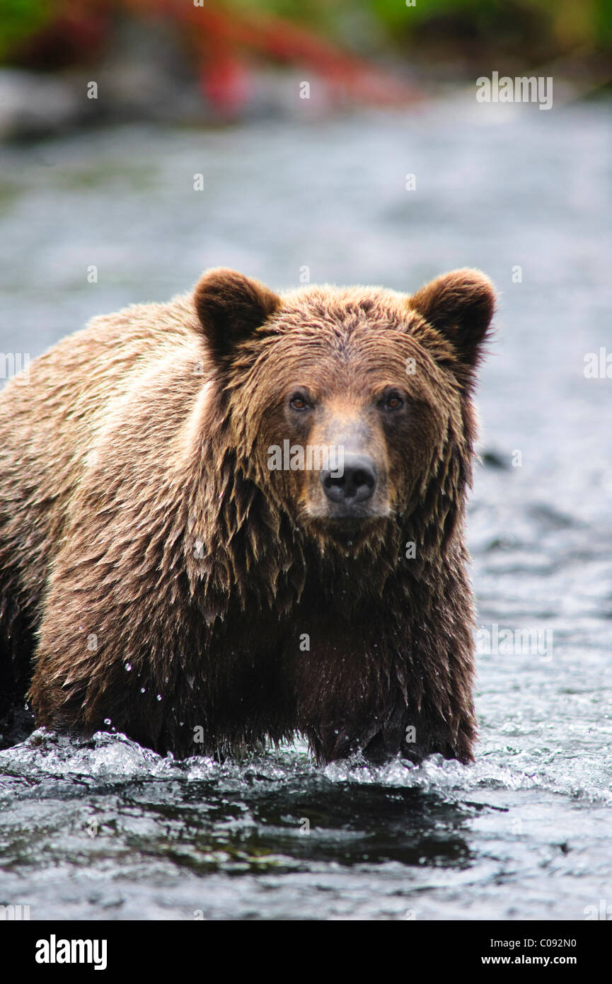 Close up portrait of an adult Brown Bear fishing for salmon in the Russian River, Kenai Peninsula, Southcentral - Stock Image