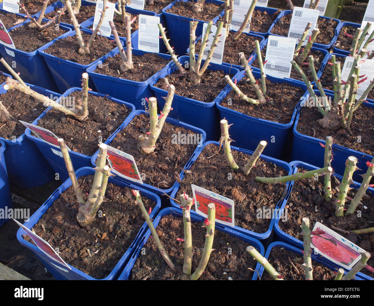 Rose plants in blue tubs for sale in a garden centre for planting in ...
