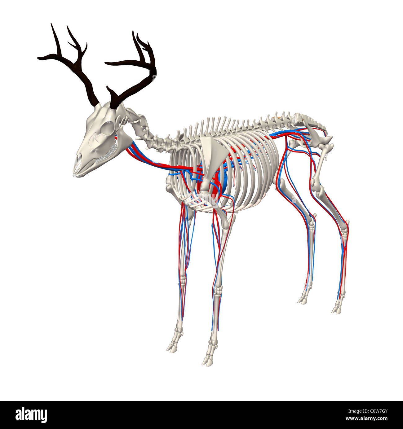 deer anatomy heart circulation skeleton Stock Photo: 34975499 - Alamy