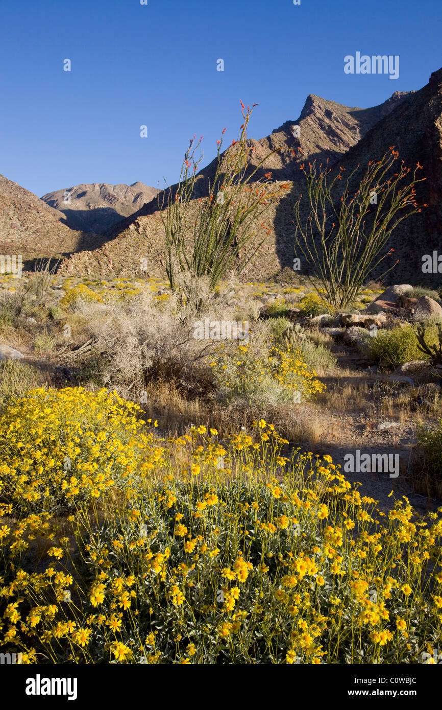 Brittlebush (Encelia farinosa) and ocotillo (Fouquieria splendens) plants in Anza Borrego Desert State Park, California. - Stock Image