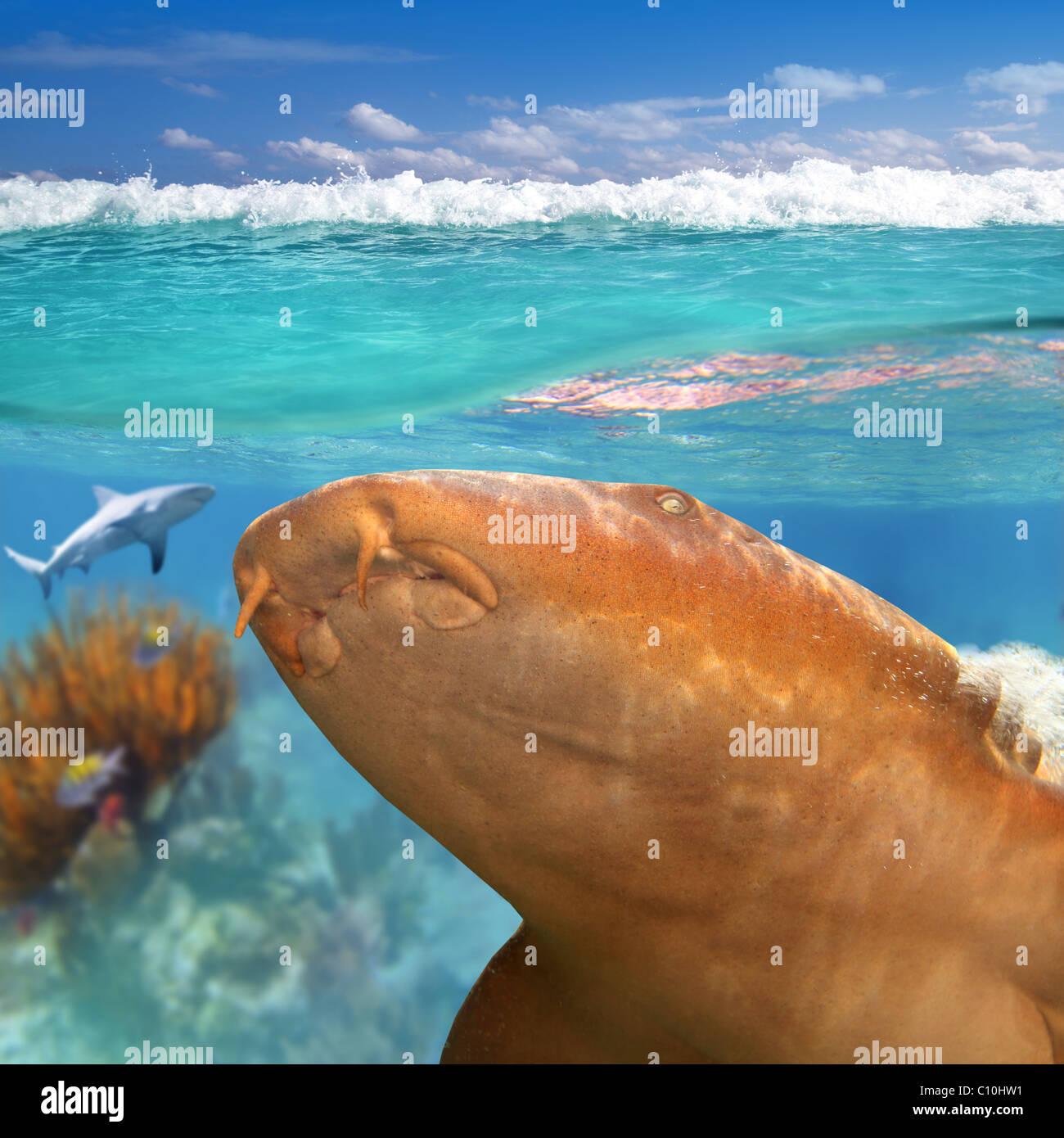 Nurse shark gata nodriza Ginglymostoma cirratum in Caribbean reef - Stock Image