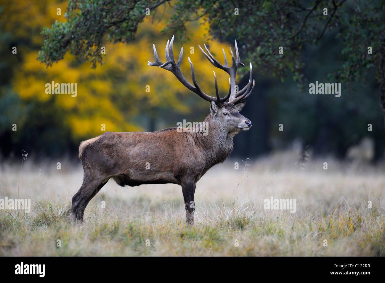 Red Deer (Cervus elaphus) stag, Jaegersborg, Denmark, Scandinavia, Europe - Stock Image