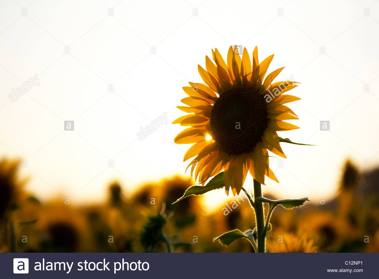 Cultivation of sunflowers in the Indian countryside at sunset, Andhra Pradesh, India - Stock Image