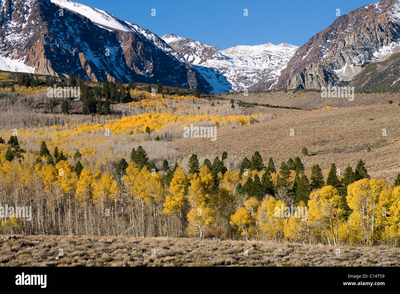 A landscape with autumn leaves, a snow covered mountain, and aspen trees in the Sierra mountains near Lee Vining, - Stock Image