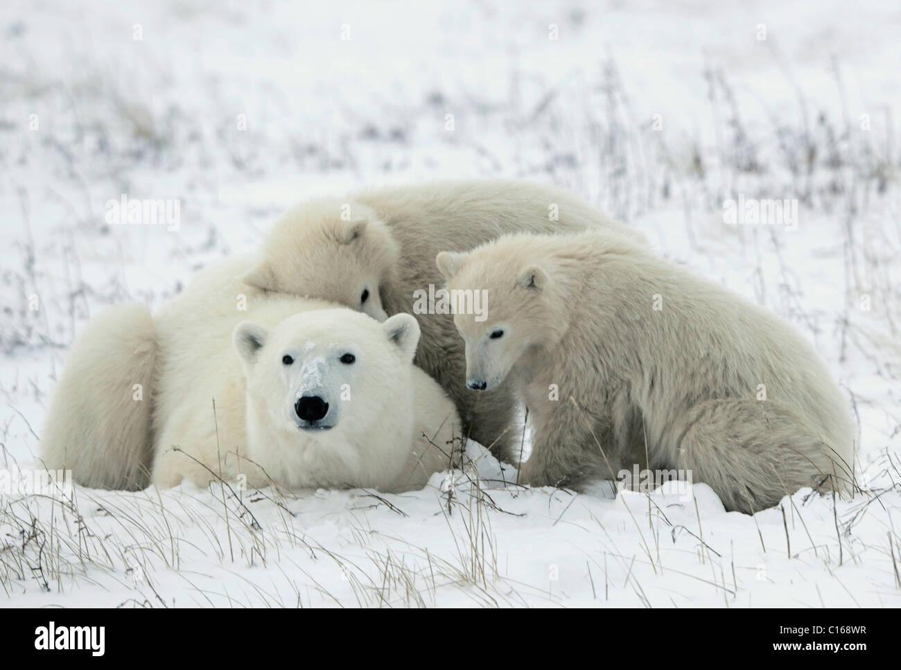 Polar she-bear with cubs. - Stock Image