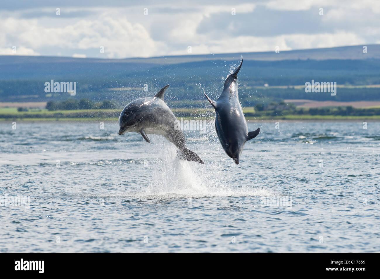 Bottlenose dolphin (Tursiops truncatus) , Moray firth, Scotland, UK. Stock Photo