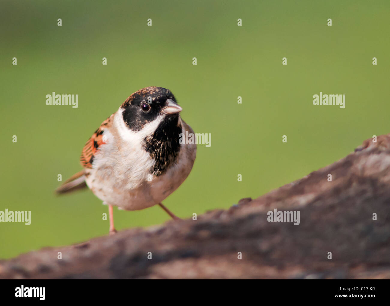 Reed Bunting (Emberiza schoeniclus) perched - Stock Image