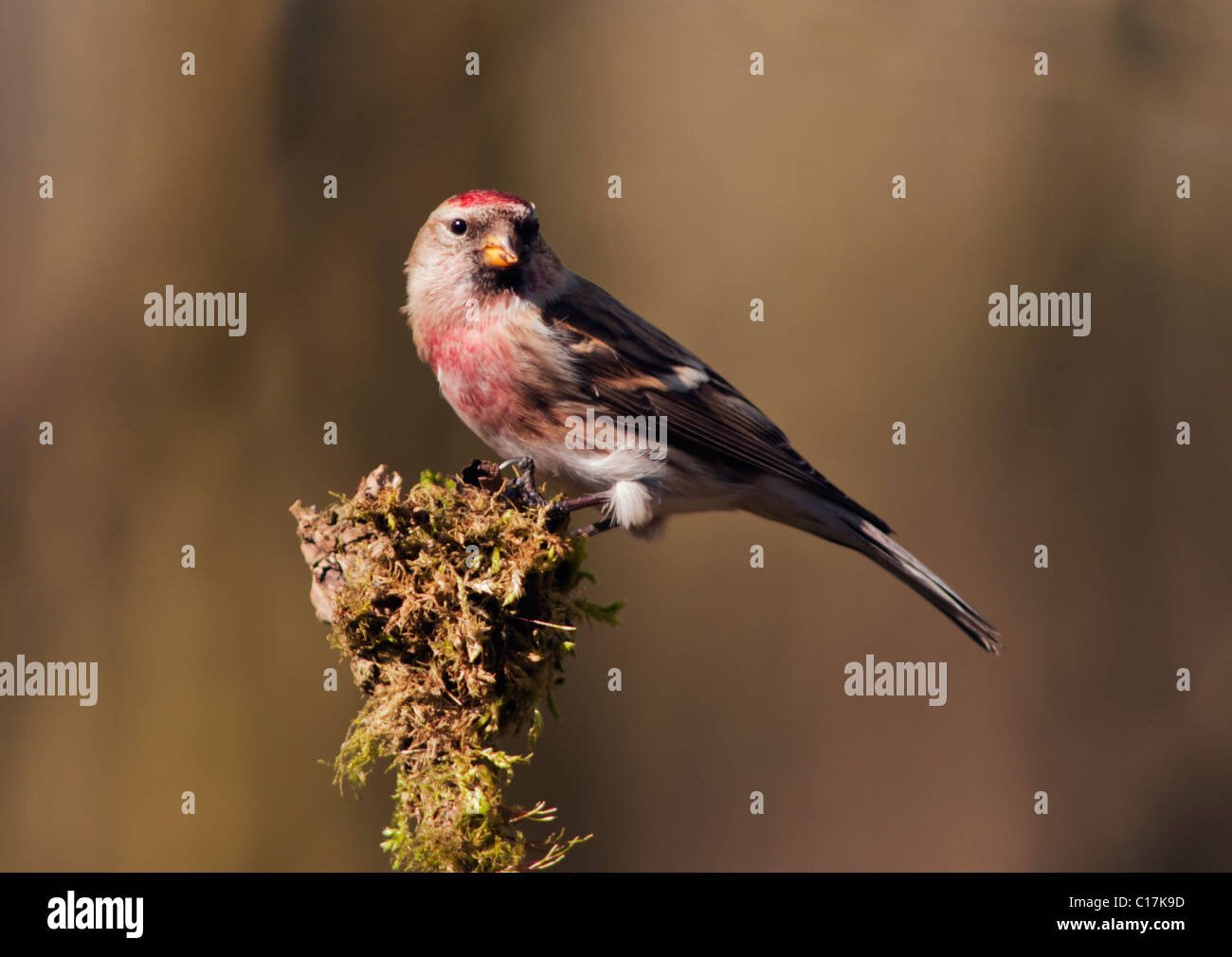 Lesser Redpoll (Carduelis cabaret) perched - Stock Image