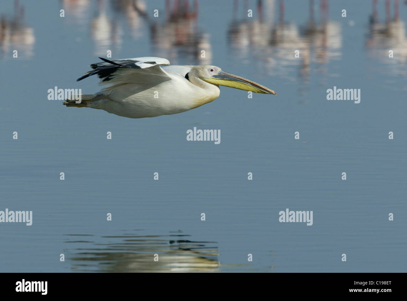 Great White Pelican (Pelecanus onocrotalus), adult in flight, Lake Nakuru, Kenya, Africa - Stock Image