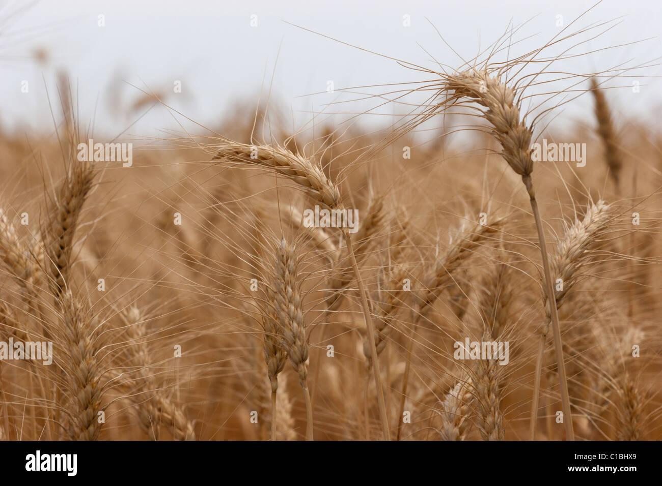 barley wheat cereal grain harvest golden food field farming crop - Stock Image