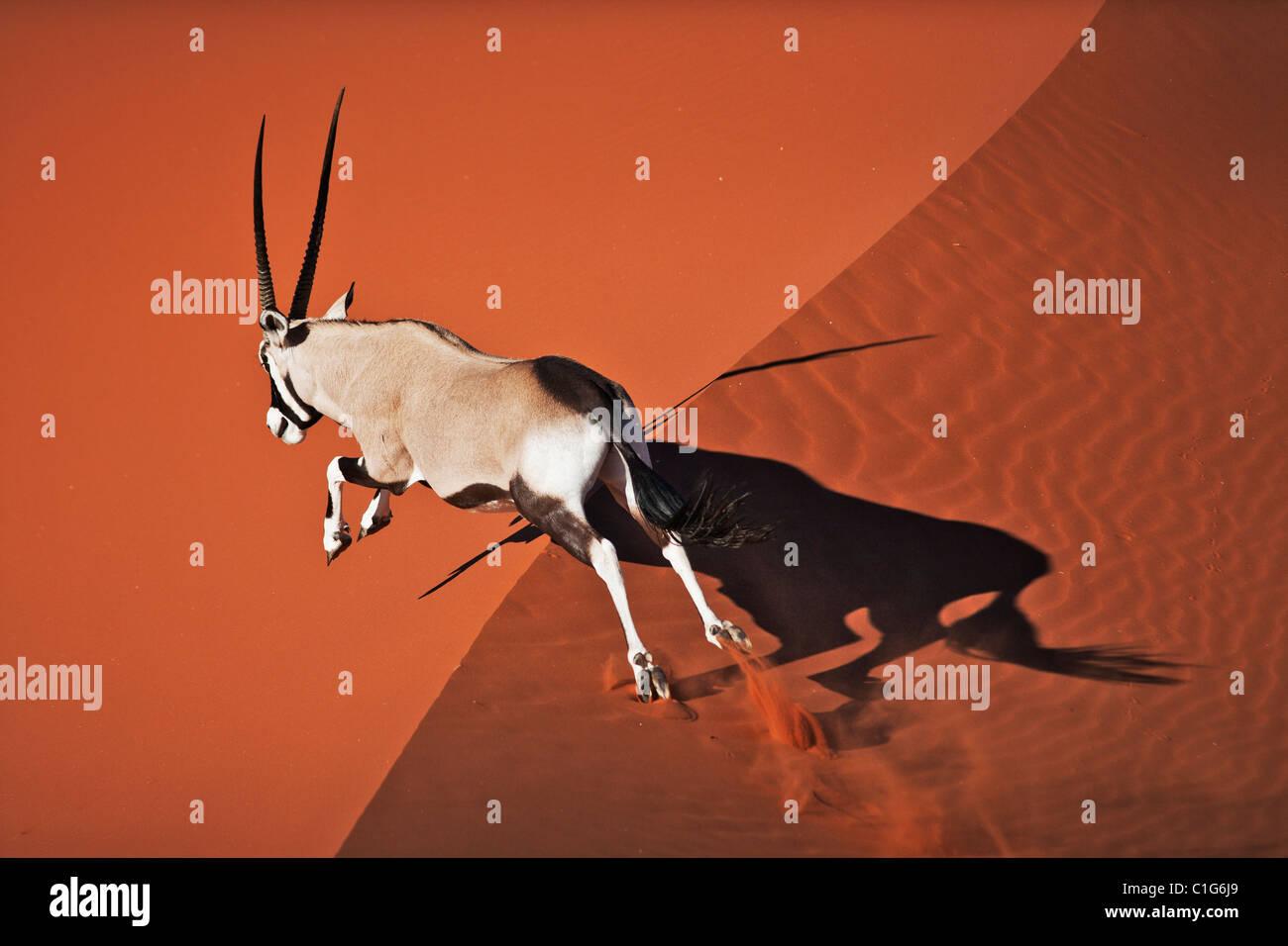 Gemsbok (Oryx gazella) In typical desert habitat Namibian desert sand dunes - Stock Image