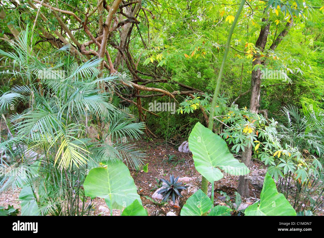Jungle rainforest Yucatan Mexico Central America plants - Stock Image