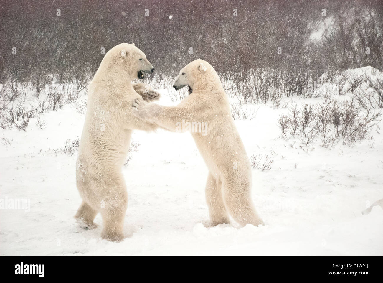 Polar Bears, Ursus maritimus, play fighting, Churchill, Manitoba, Canada - Stock Image