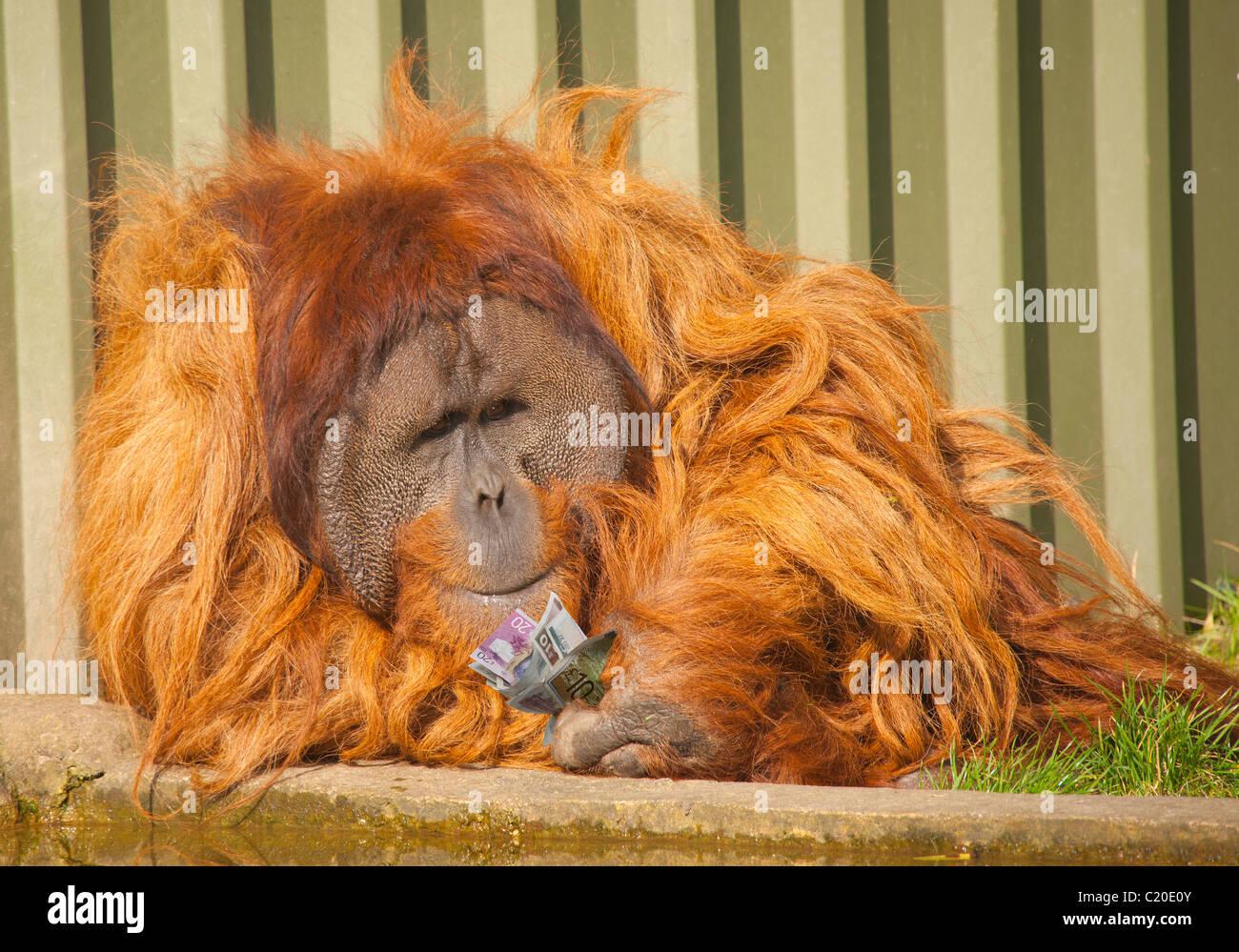 Financial concept, humour, monkey cash - Stock Image