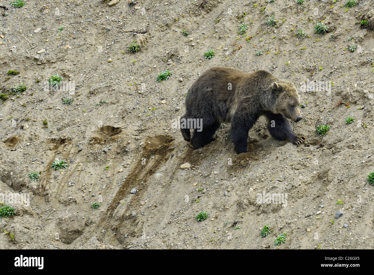 Grizzly Bear traversing a sandy slope in Yellowstone National Park. - Stock Image