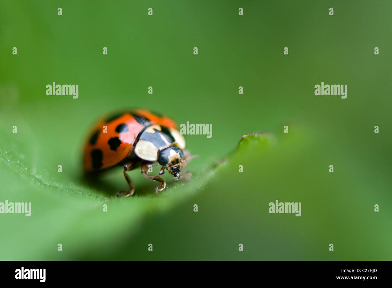 Harlequin Ladybird - Harmonia axyridis - Stock Image