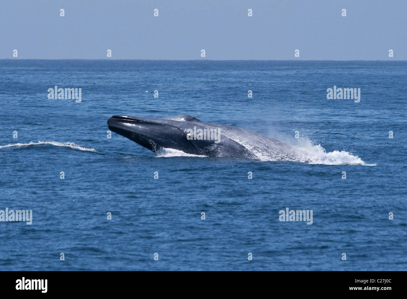 Blue Whale (Balaenoptera Musculus) breaching, extremely rare unusual image. Monterey, Pacific Ocean. NOT A DIGITAL Stock Photo