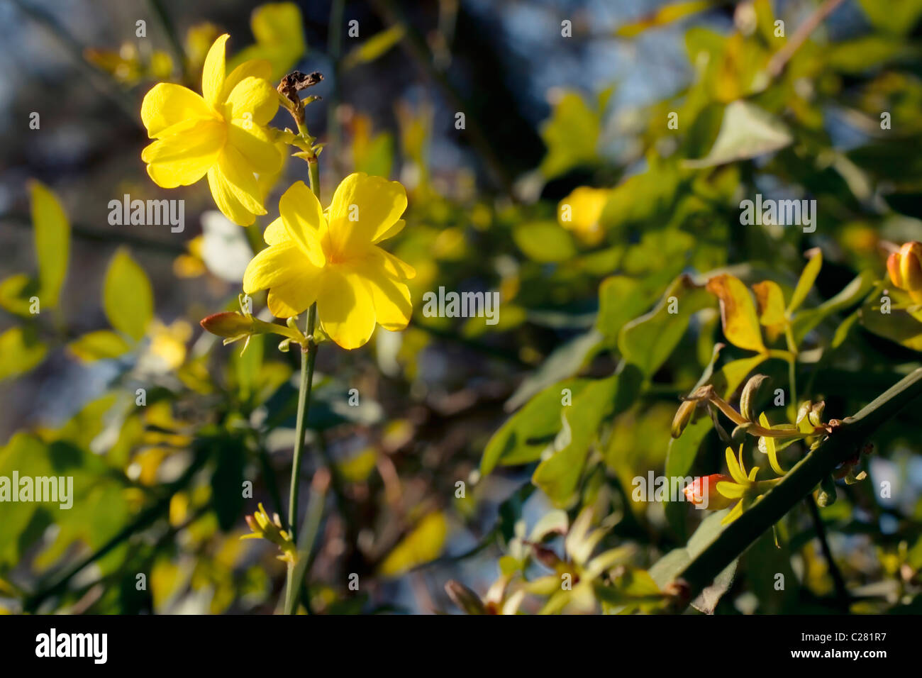 Branch of the japanese jasmine bush with yellow flowers closup stock branch of the japanese jasmine bush with yellow flowers closup izmirmasajfo