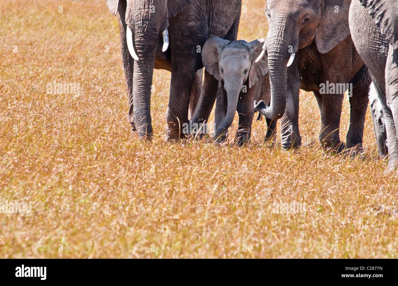 African Elephant Cows and Calf,  Loxodonta africana, Masai Mara National Reserve, Kenya, East Africa - Stock Image