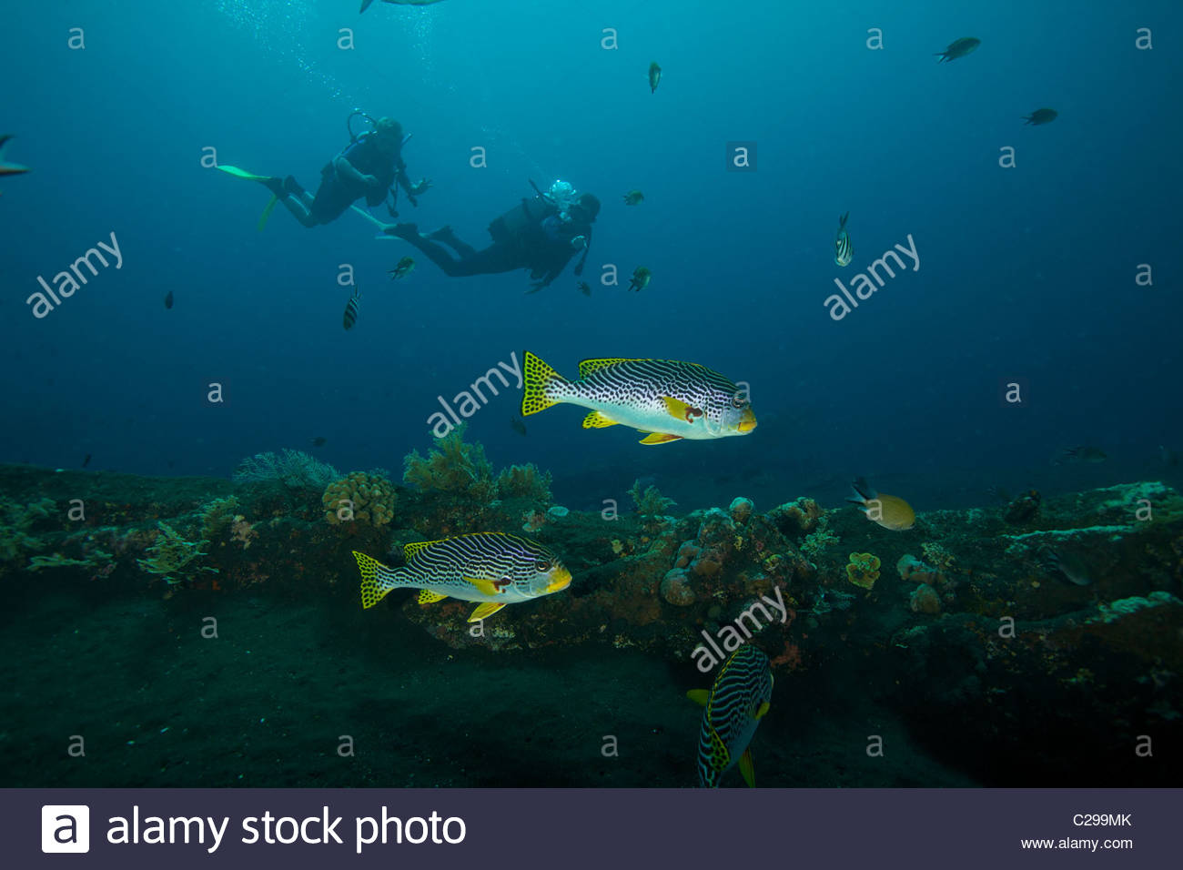 Divers at the Liberty wreck with diagonal-banded sweetlips fish. - Stock Image