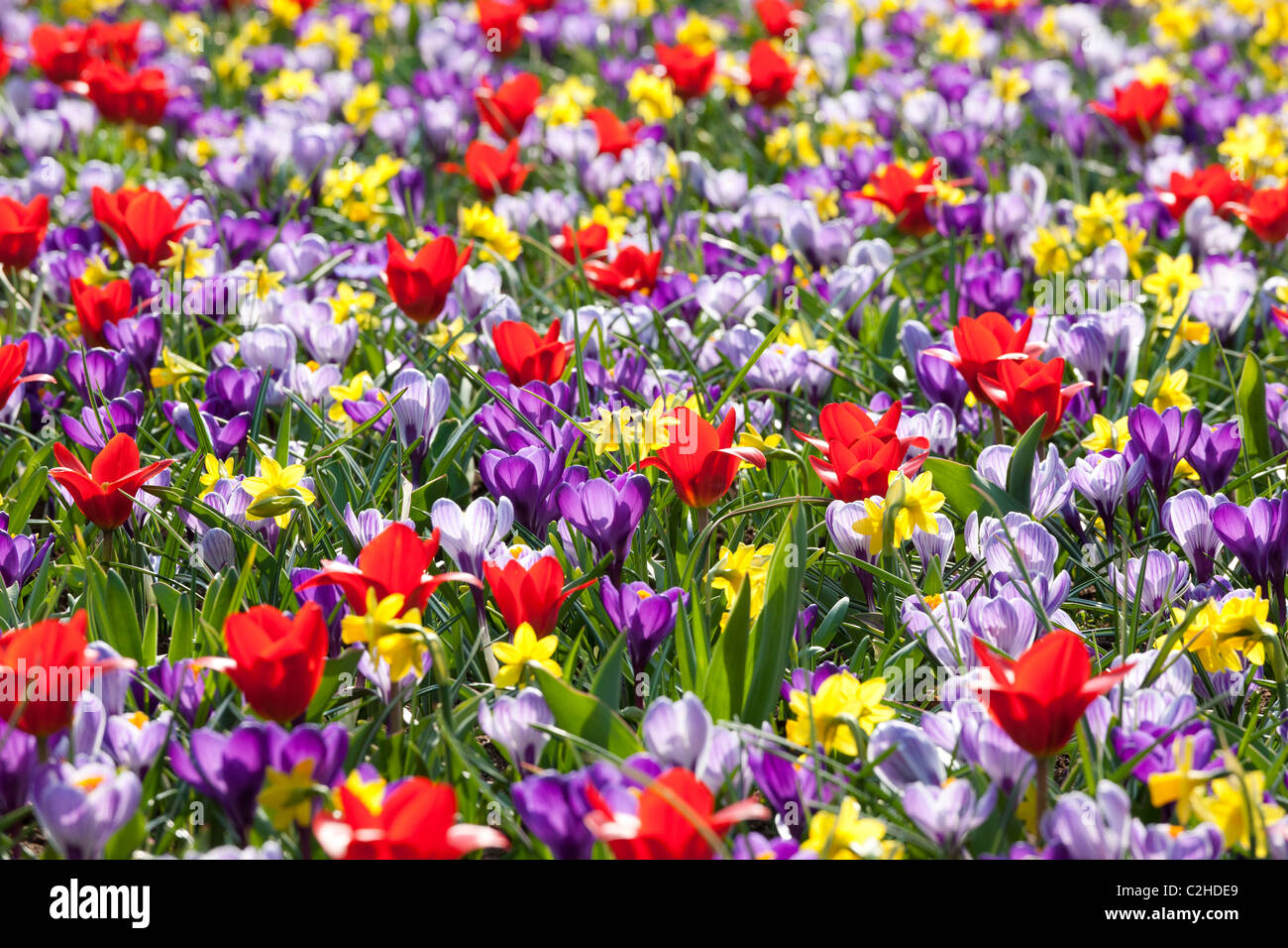 https://c7.alamy.com/comp/C2HDE9/a-mixed-flower-bed-with-daffodils-tulips-and-crocuses-like-a-wild-C2HDE9.jpg