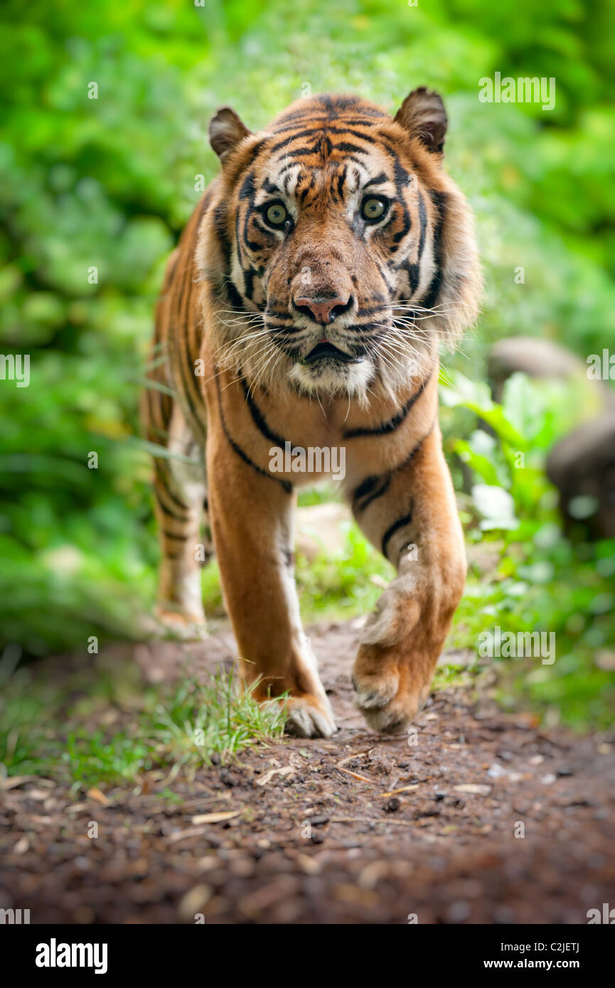 close up of a Sumatran tiger in the forest - Stock Image