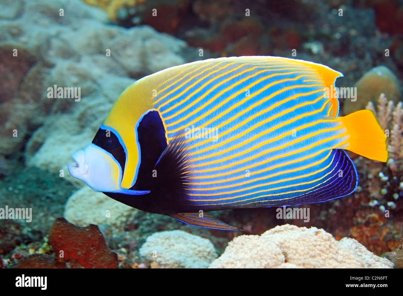 emperor-angelfish-pomacanthus-imperator-swimming-on-the-reef-underwater-C2N6FT.jpg