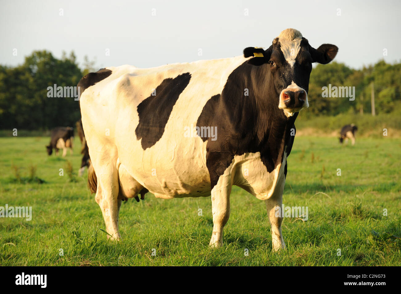 Friesian  Dairy cow in field - Stock Image