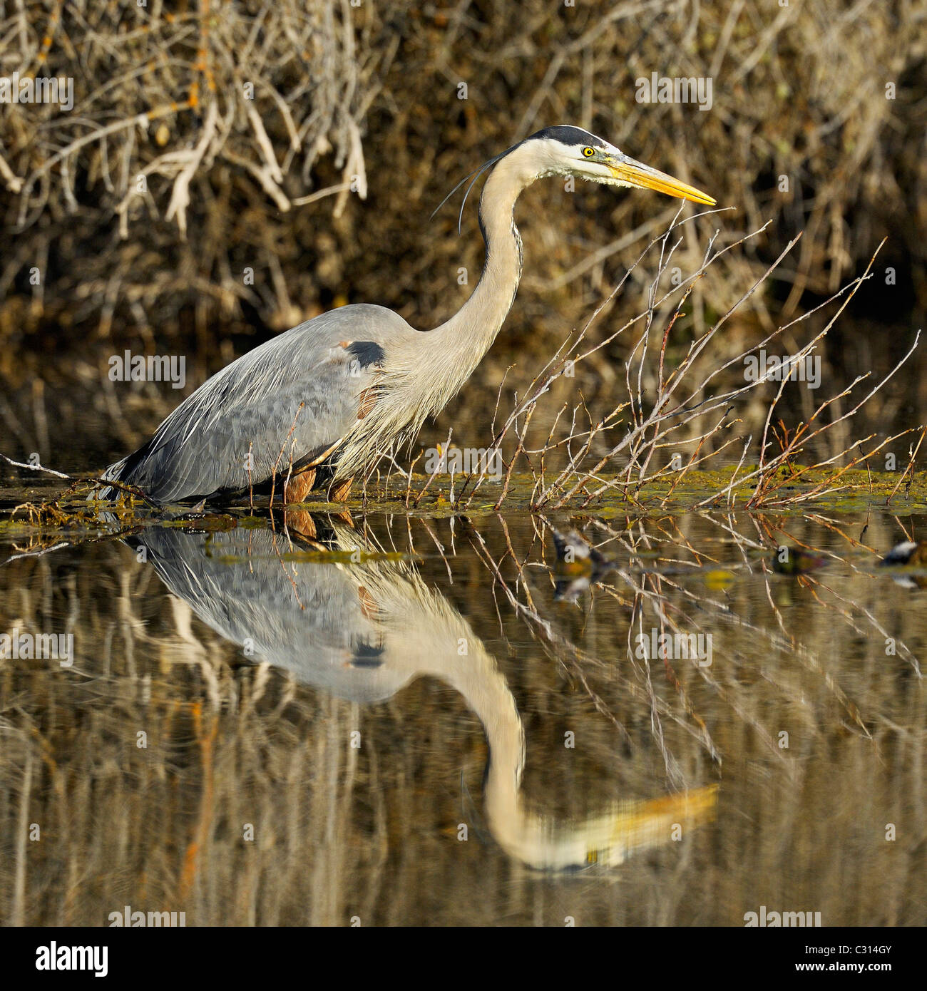 A great blue heron reflected at sunrise in a beaver pond - Stock Image