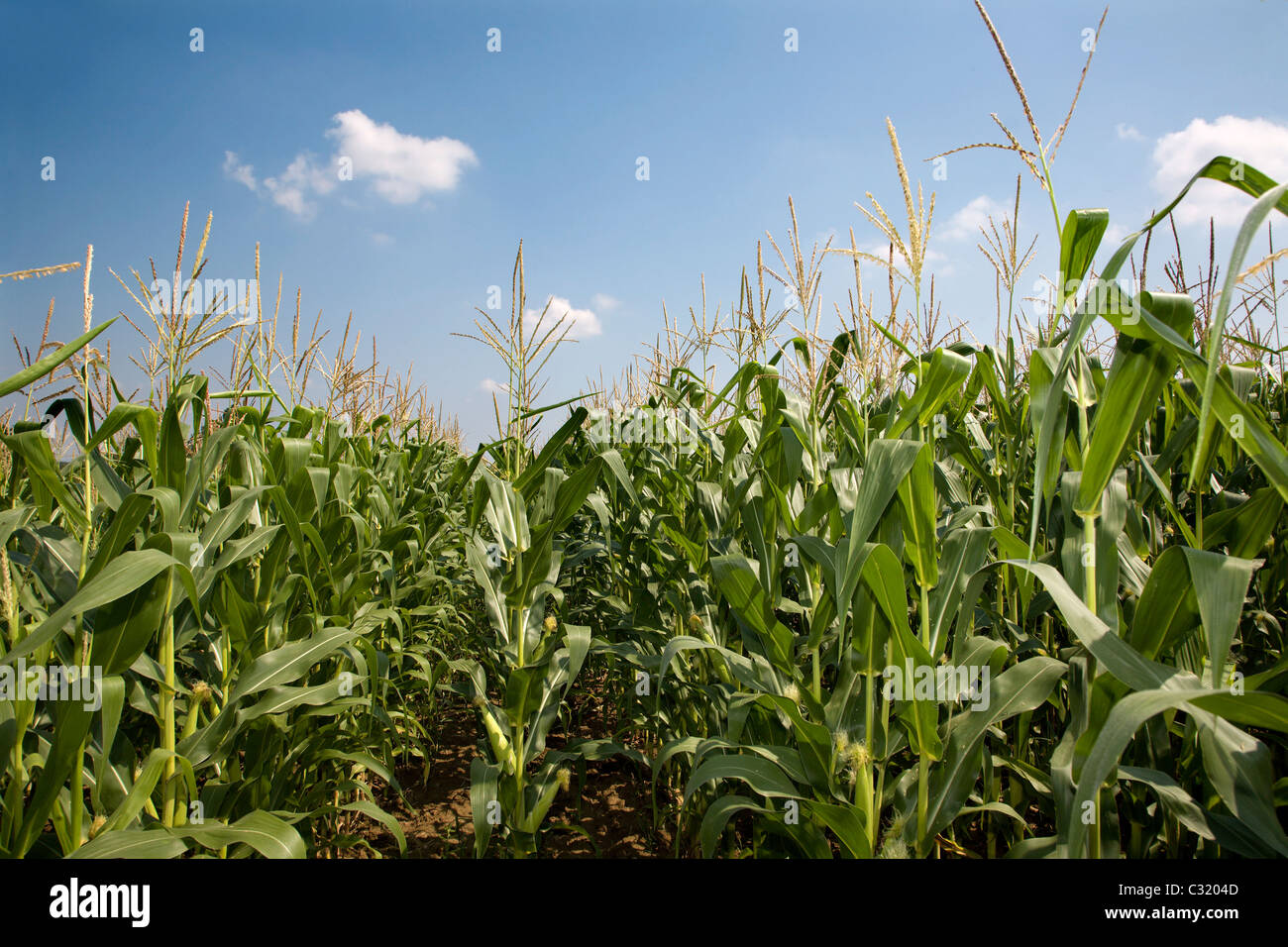 maize and the sky - summer - Stock Image