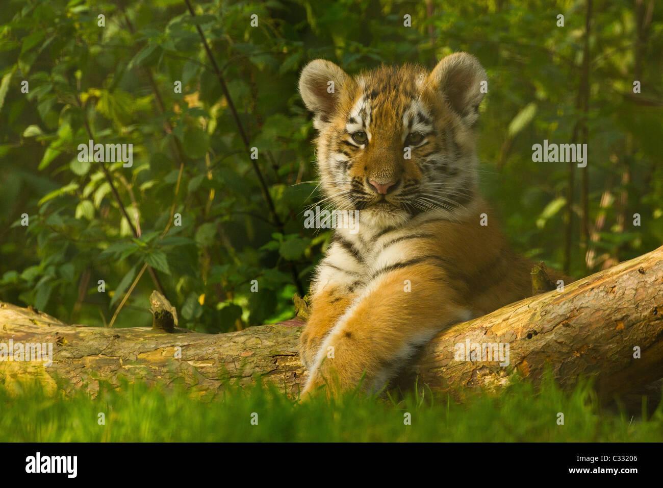 Siberian/Amur Tiger Cub on Log - Stock Image