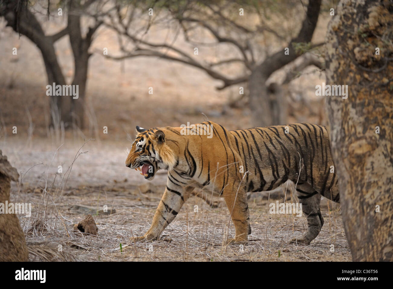 Tiger roaring in Ranthambhore national park, - Stock Image