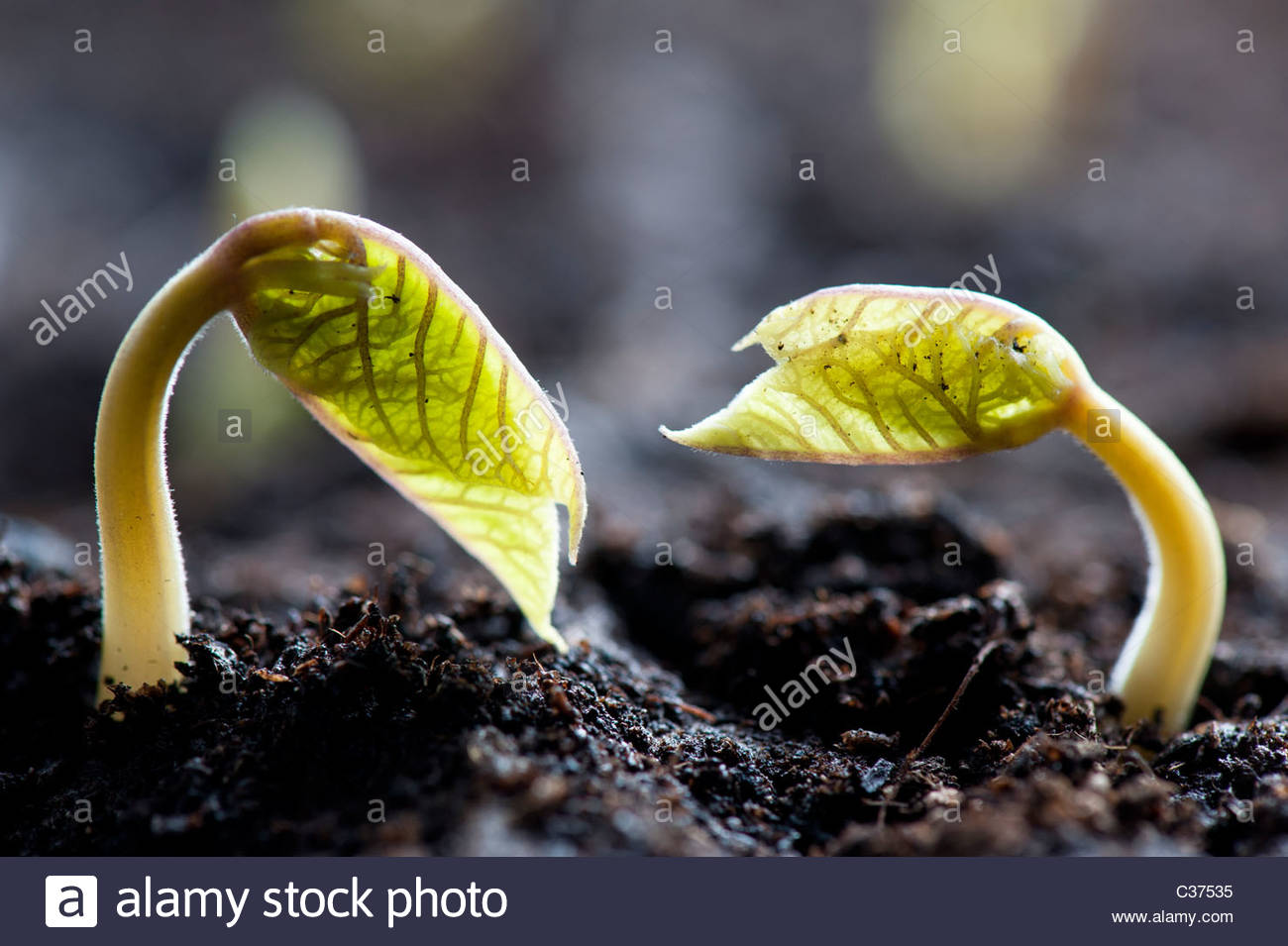 Phaseolus coccineus. Runnner bean seedling sprouting in seed tray - Stock Image