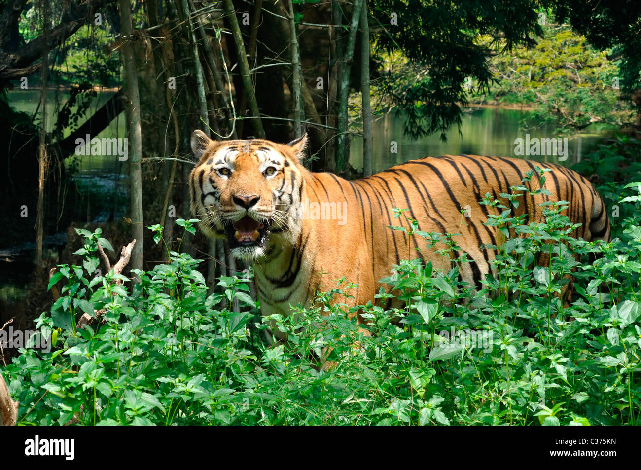 Indian Tiger - Stock Image