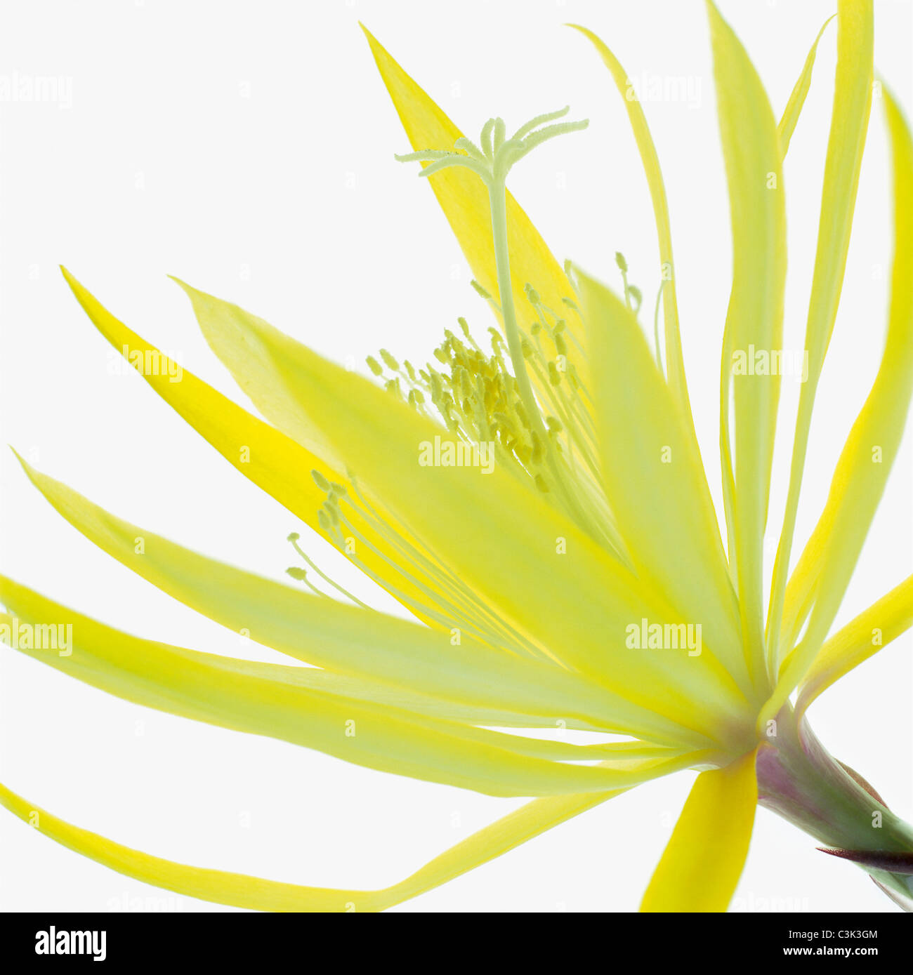 Yellow flower against white background - Stock Image