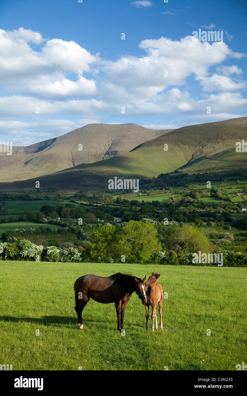 Horse and foal in the Glen of Aherlow, beneath the Galtee Mountains, County Tipperary, Ireland. - Stock Image