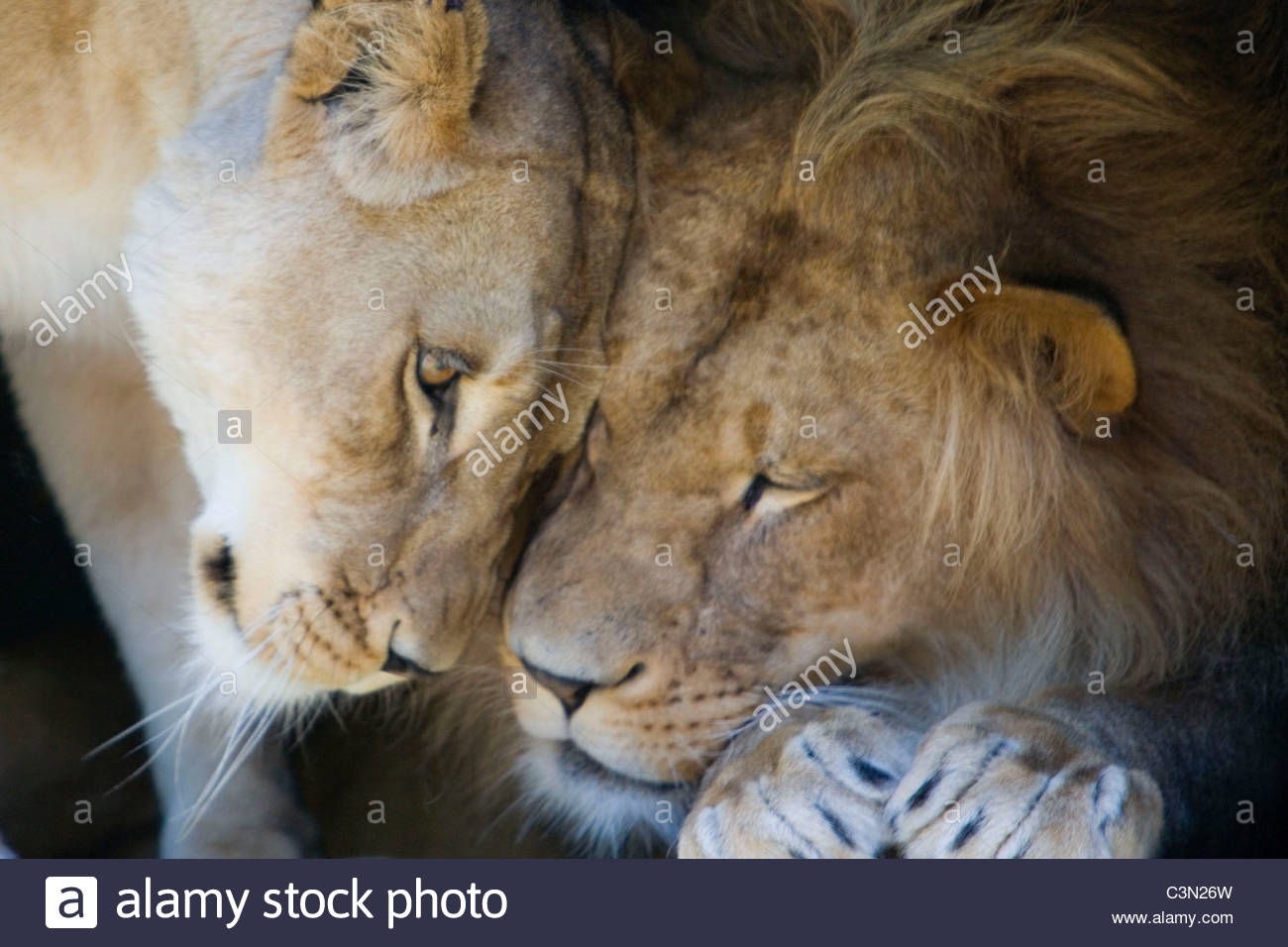 South Africa. Johannesburg. Lion and lioness. Panthera Leo. - Stock Image