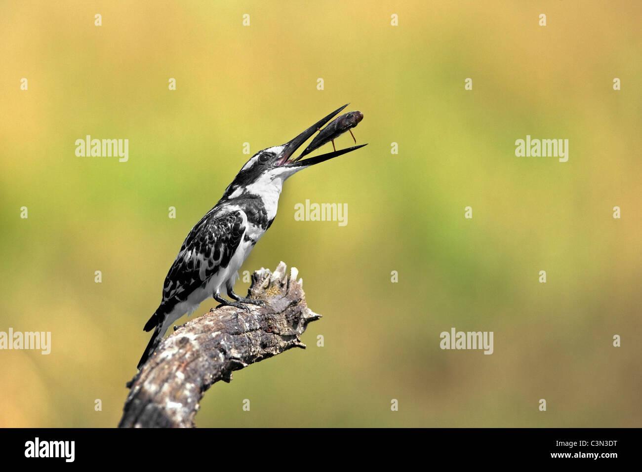 South Africa, near Rustenburg, Pilanesberg National Park. Mankwe Hide. Pied Kingfisher. (Ceryle rudis) with fish. - Stock Image