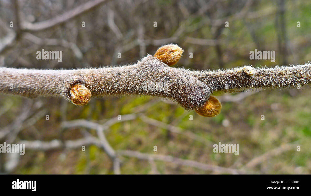 Fresh springtime buds on tree branch - Stock Image