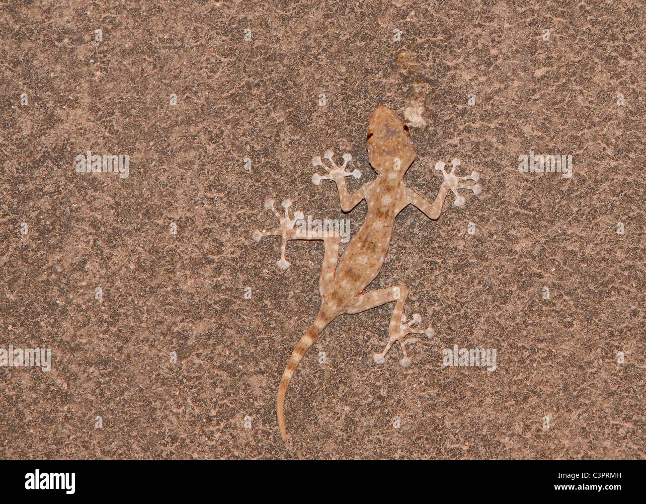 A fan-fingered gecko (Ptyodactylus guttatus) tries to blend in with a call in Israel. - Stock Image