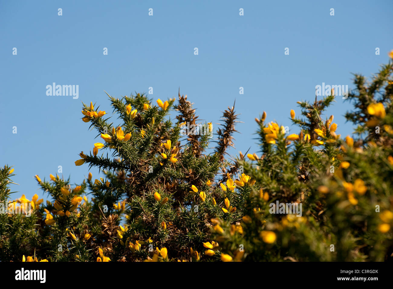 Pretty Yellow Flowers On A Gorse Bush In England Stock Photo