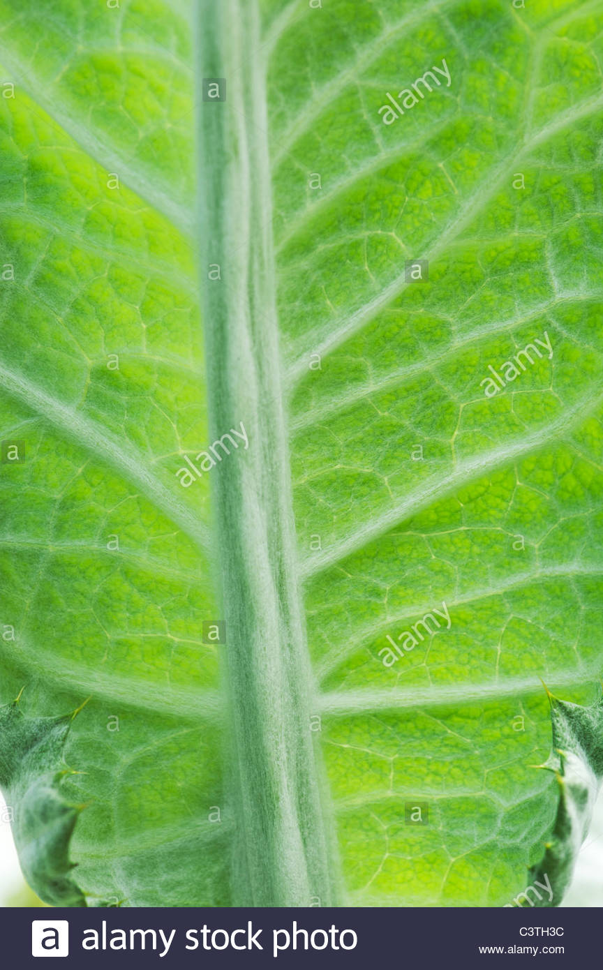Cynara cardunculus. Cardoon leaf pattern - Stock Image