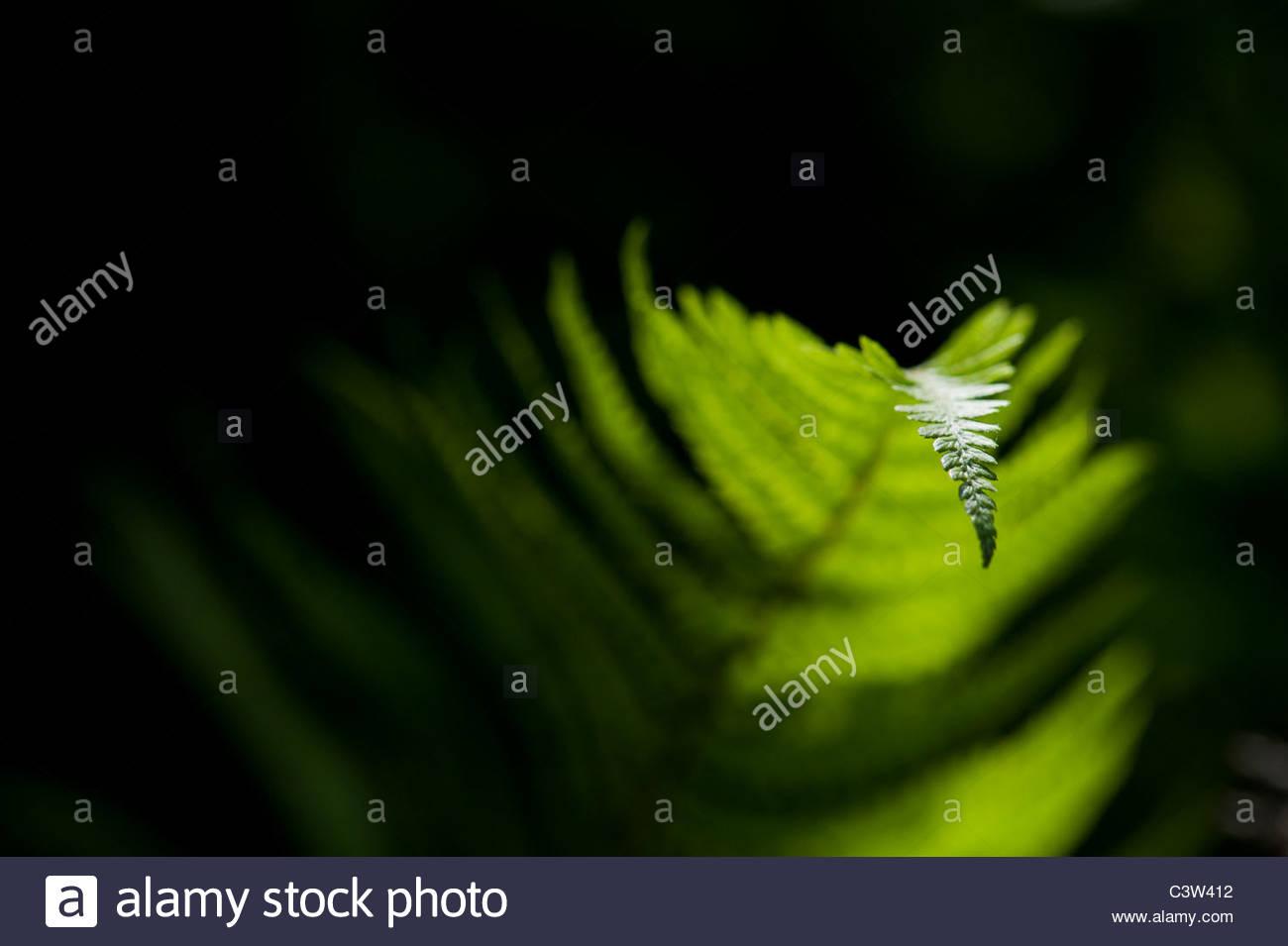 Pteridium aquilinum. Bracken fern lit up by sunlight against a dark background - Stock Image