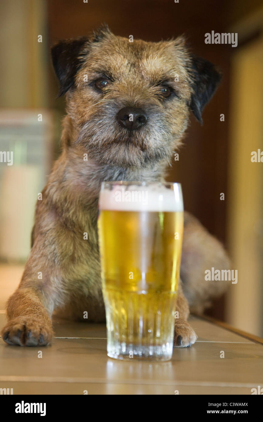 Border Terrier (Canis lupus familiaris) dog in bar with glass of beer - Stock Image