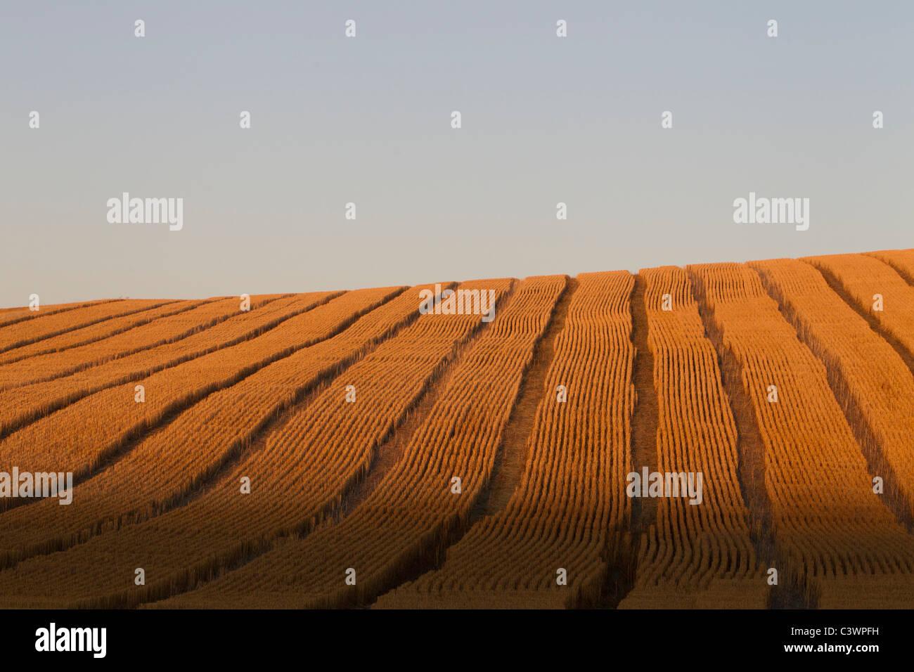 Golden Rolling Palouse Fields with Combine Tracks, Eastern Washington, USA - Stock Image
