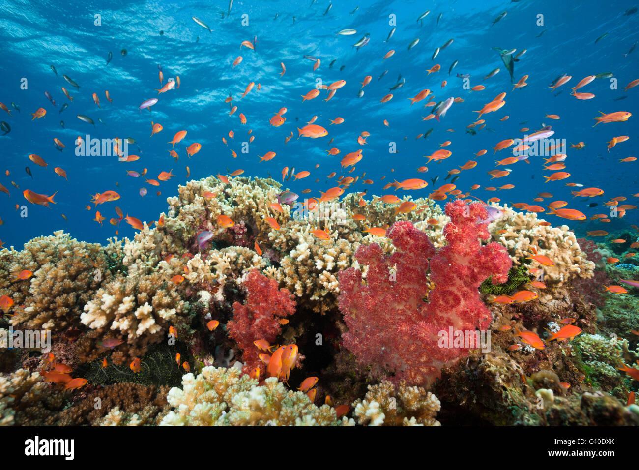 Lyretail Anthias in Coral Reef, Pseudanthias squamipinnis, Gau, Lomaiviti, Fiji - Stock Image